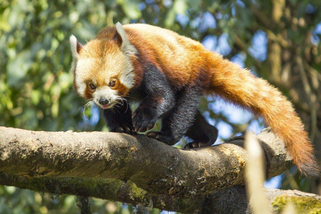 Red Panda photo.
